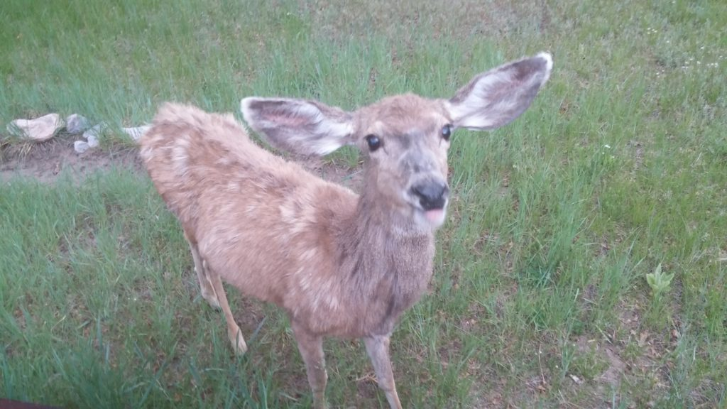 A young deer panting