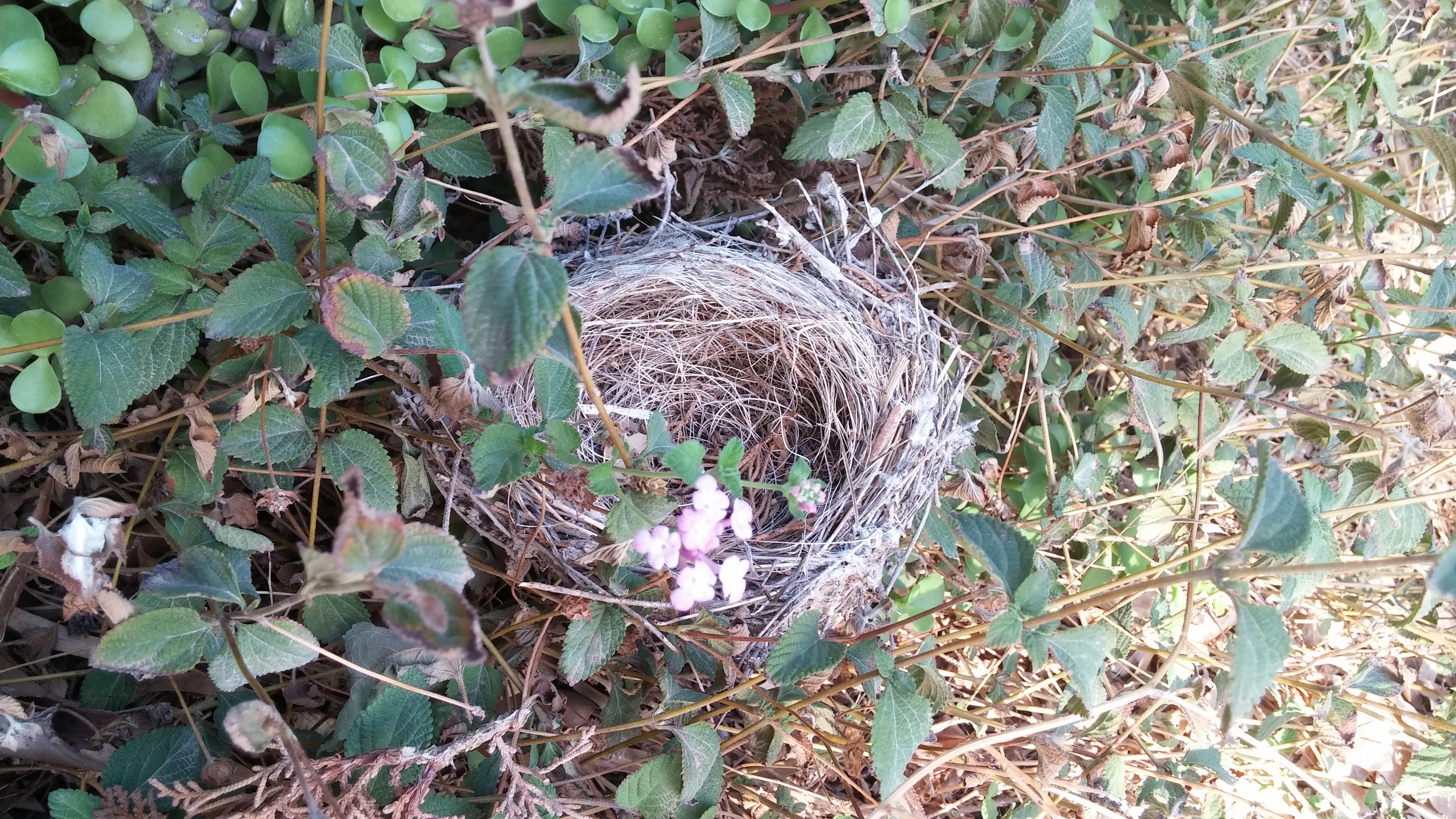 empty bird's nest among vines